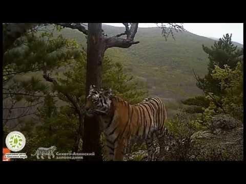 """Видео-ловушки и тигры, Сихоте-Алинский заповедник, проект """"Полосатый сосед"""", 2014"""