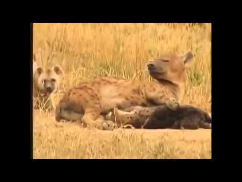 Hyena Attack Lion Best animals fights  with wild 2016 animals lion tiger bear attack