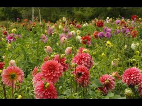 INILAH!!  6 Cara Menanam Bunga Dahlia Dan Perawatannya