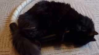 Кот и пылесос (лучшие друзья)