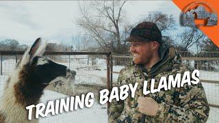 Training BABY LLAMAS  Ep.57  Llama Life