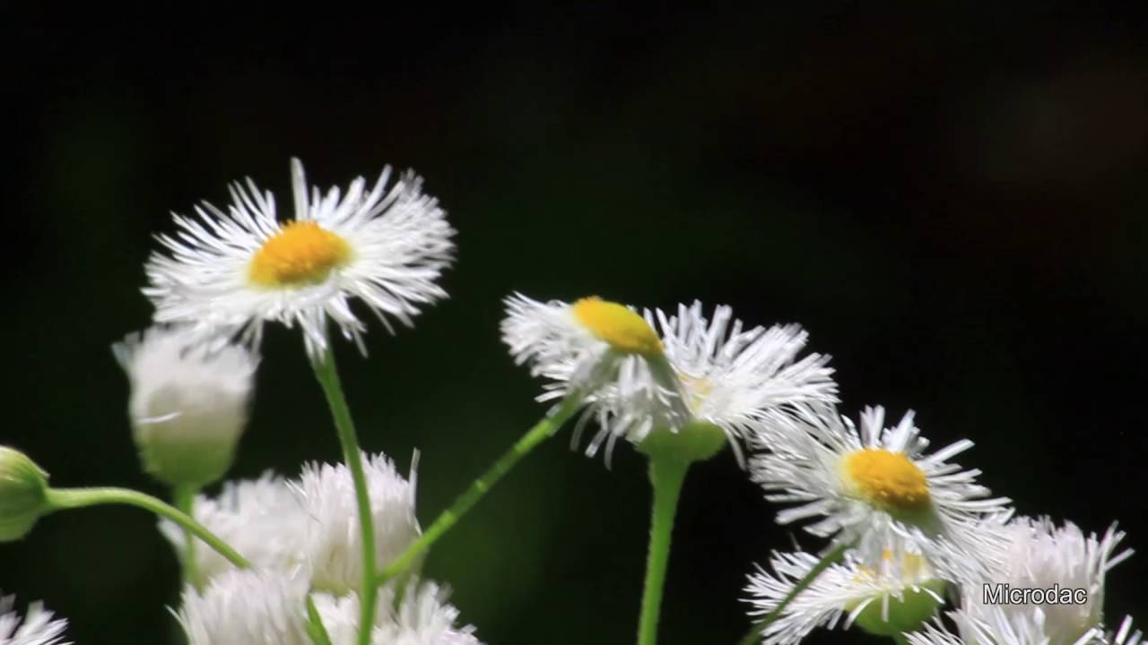 4 Minutes And 23 Seconds Virginia Wildflower White Aster Youtube