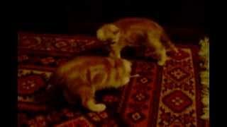 Котята воюют с ватными палочками