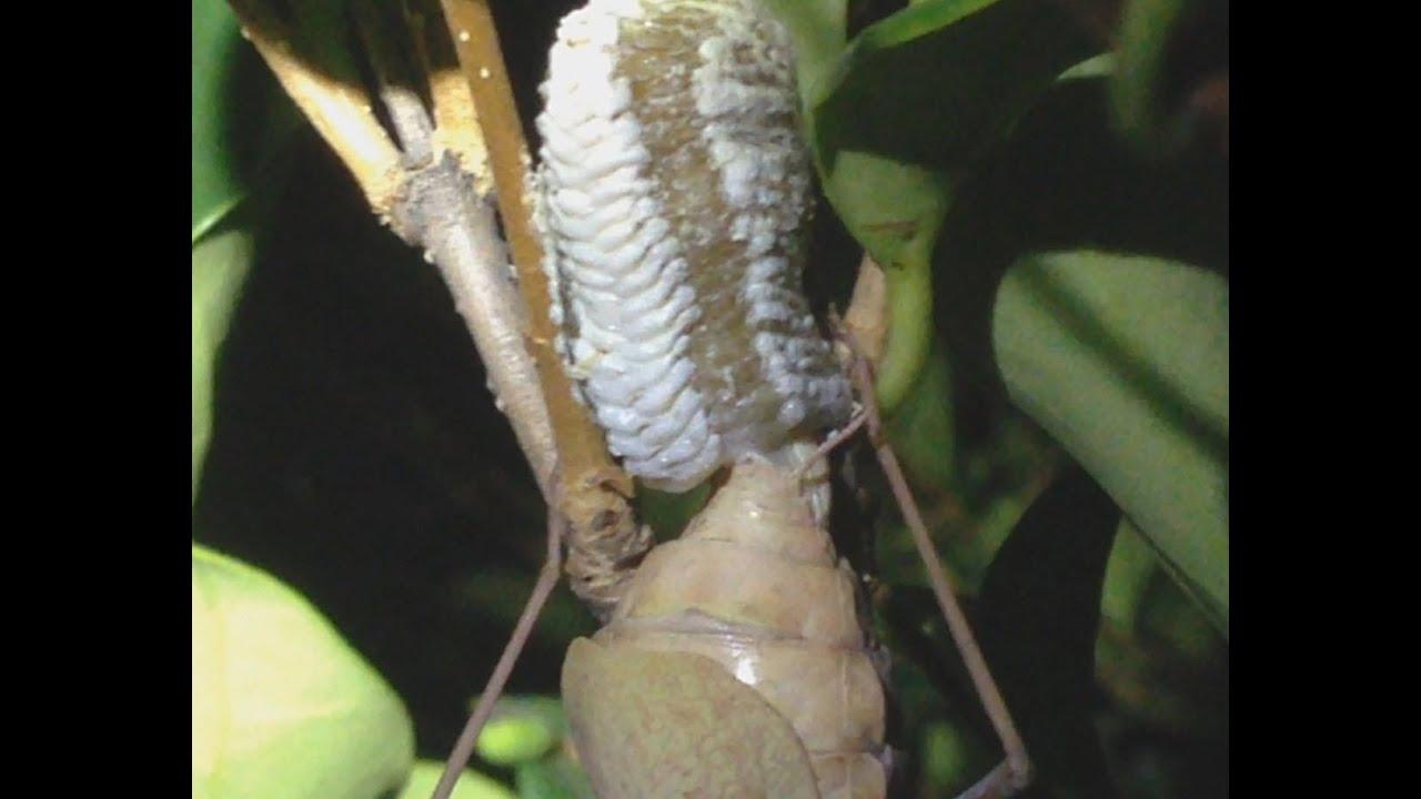 Praying Mantis Eggs A Large Female ...
