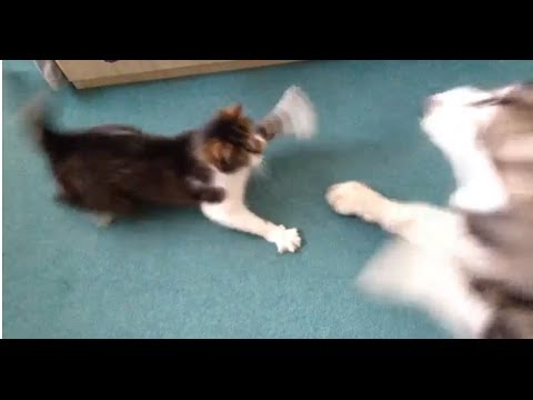 Alaskan Malamute vs Cat