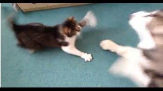 Alaskan Malamute vs Cat