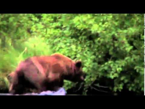 ALASKAN GRIZZLY BEAR EATS MAN - YouTube