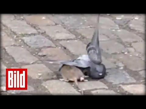 Ratte vs Taube - Großer Kampf in New York ( Battle / Tier / Animal )