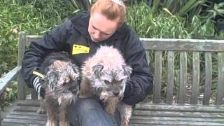 Dogs Trust West London: Border Terriers Seeking A Home