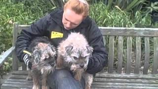 Dogs Trust West London: Border Terriers Seeking A Home