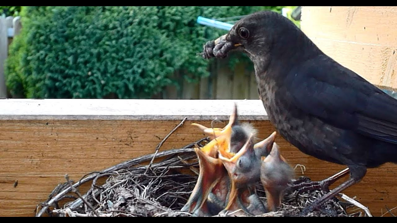 Amsel Mutter Und Vater Futtert Ihre Jungen Im Vogelnest Youtube