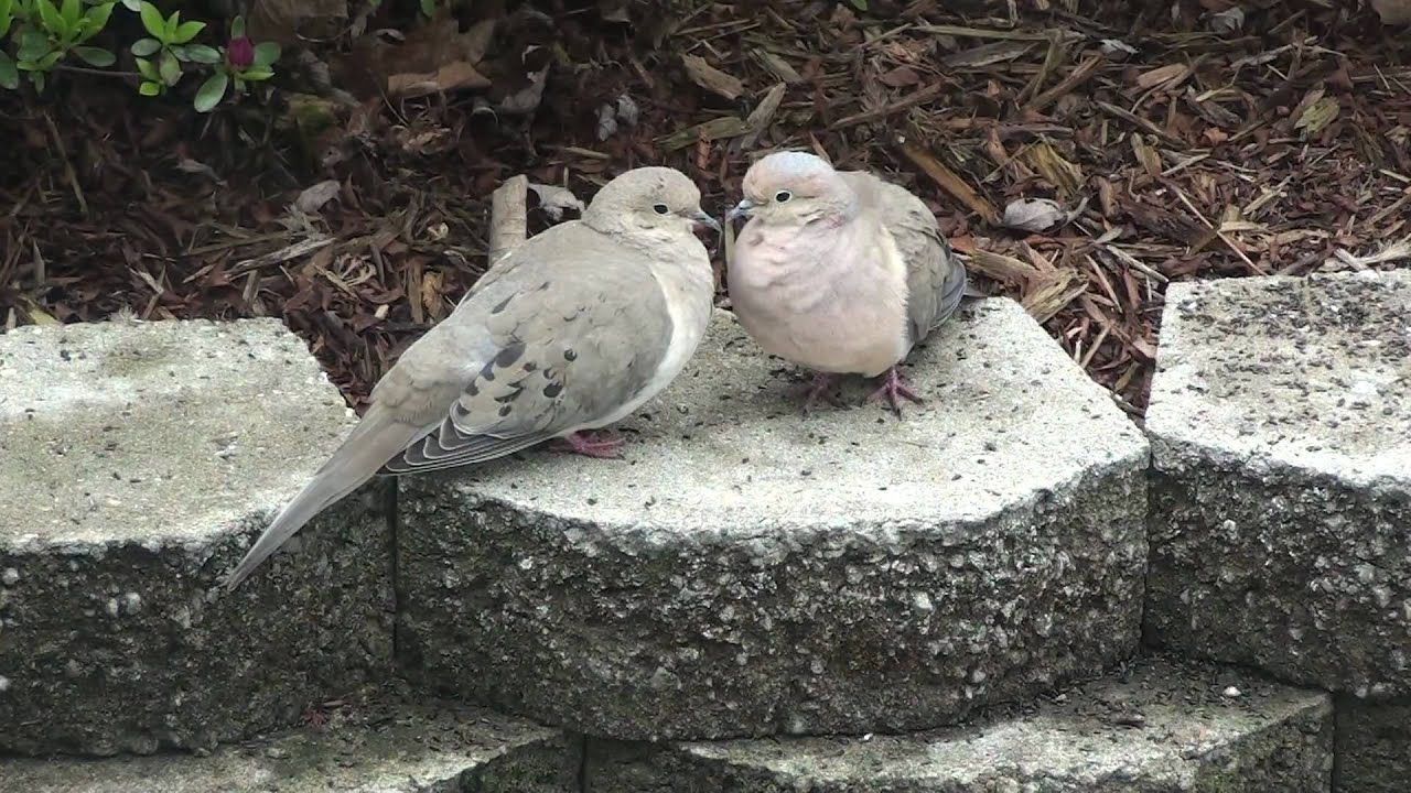 Mourning Doves In Love Youtube