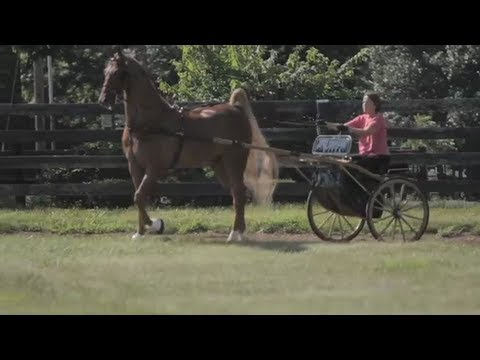 Saddlebred Driving Lesson