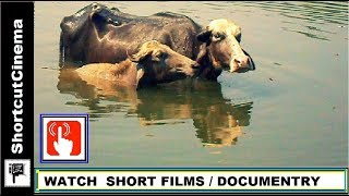 Gai Bhains Pani Mein-watch  buffalo cow farming Trending in india cow farming in india