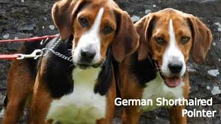 Hamilton Hound  medium size dog breed