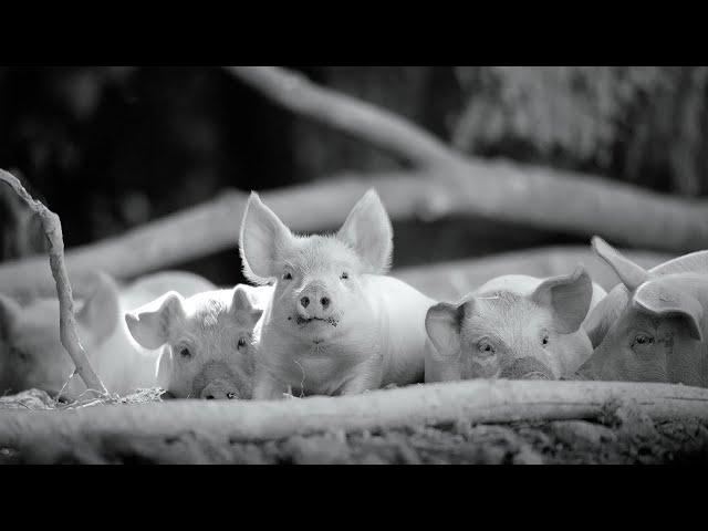 映画予告-ナレーション&音楽なしの93分!母ブタと動物たちのドキュメンタリー映画『GUNDA/グンダ』予告編