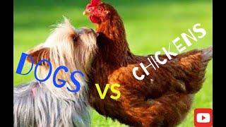 Курицы против Собак Chicken VS Dog Смешные видео