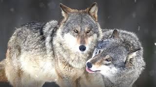 Selena gomez & marshmello - wolves ...