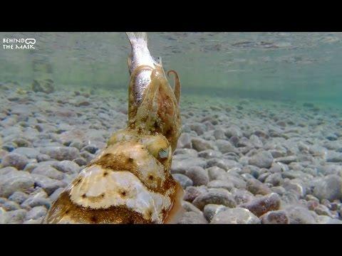 Cuttlefish hunting with Go Pro (Dahab - South Sinai - Egypt)