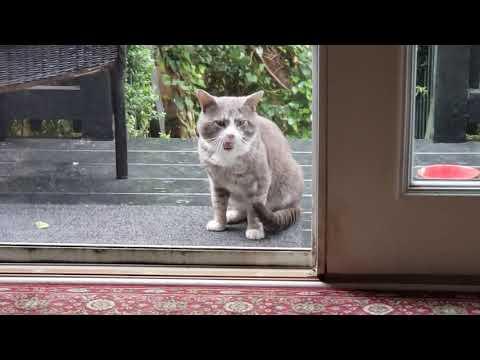 My CHARTREUX CAT: When Oscar met Graciella