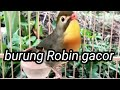Burung Robin Gacor  Mp3 - Mp4 Download