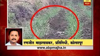 कोल्हापूर : कोल्हापुरातील शिवारात तीन नागांची प्रणयक्रीडा