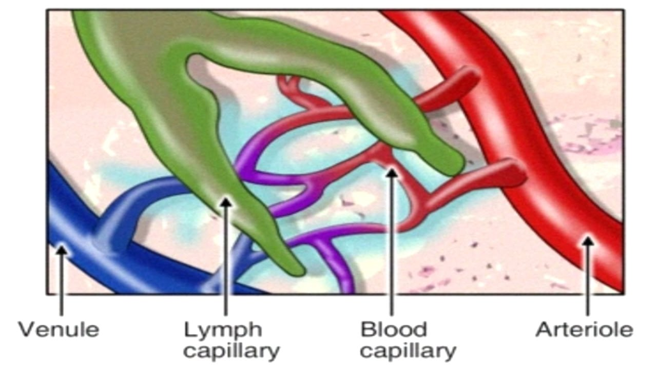 How Lymphatic System Works Animation: Spreading of Breast Cancer ...