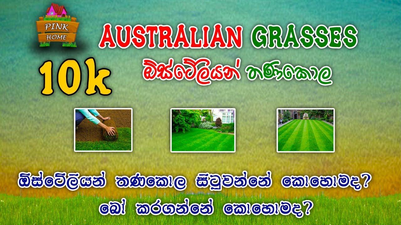 Download ඔිස්ටෙිලියන් තණකොල නිවැරදි ලෙස වවමු (How to grow the Australian grasses in a correct way) pink home