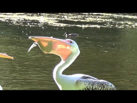 Pelican vs. Pigeon - St. James Park