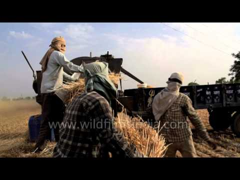 Wheat : summer harvest and threshing of India's main cash crop