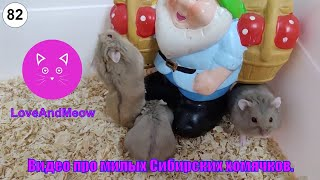 Видео про милых Сибирских хомячков Самые смешные видео про хомяков Видео про домашних хомяков