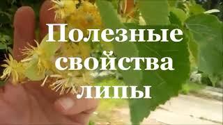 видео Липа крупнолистная: фото