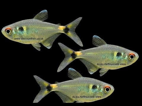 Head And Tail Light Tetras - Tropical Freshwater Fish For Sale