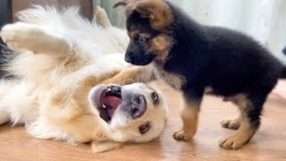 What does a German Shepherd Puppy do when a Golden Retriever doesn't want to play