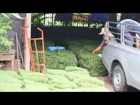 Как выращивают газон? Экскурсия на ферму с газоном    where to buy a lawn in Phuket