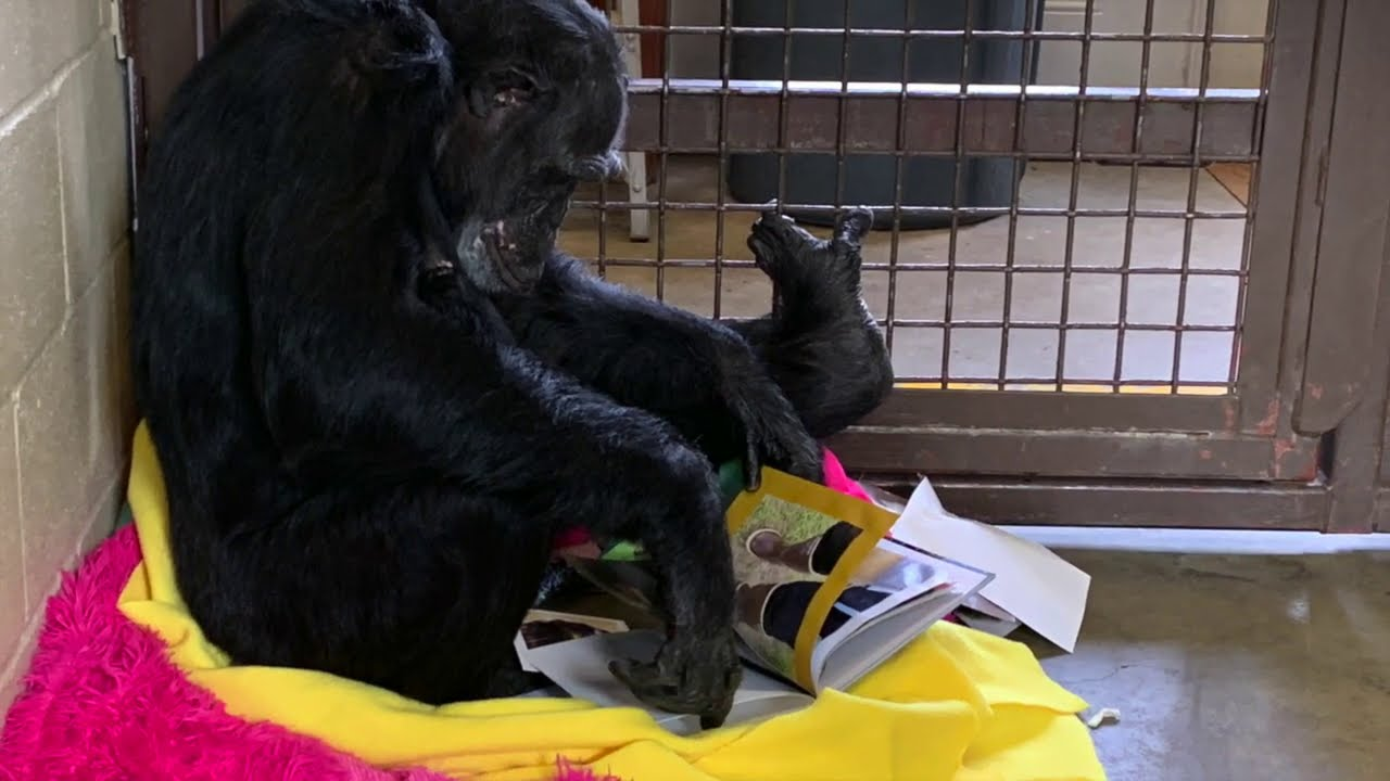 Moments with Jamie, a rescued chimpanzee