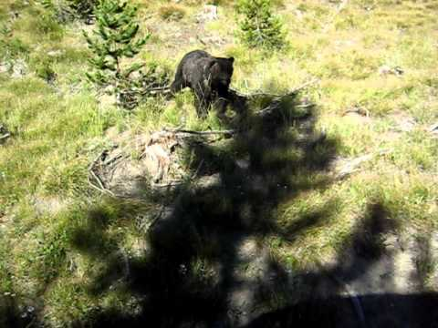 DRIVER FLIPS OUT WHEN HE SEE'S GRIZZLEY BEAR IN YELLOWSTONE.......