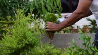 How to grow and care golden bottle brush | Giving shape | Hindi