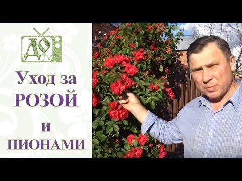 Розы отцвели что делать дальше