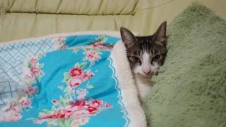 猫ミルキーのまどろみ顔とにくきゅう Cat sleeping face and paws