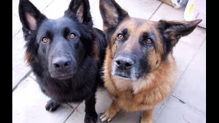 Belgian Shepherd Vs German Shepherd 2