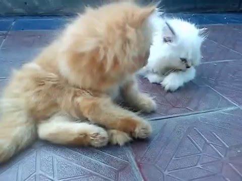 Unduh 78+  Gambar Kucing Persia Silangan Anggora Paling Bagus Gratis