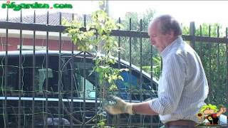 How to fix a trellis for a climbing rose