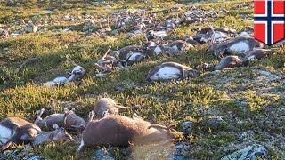 落雷による感電死か。ノルウェーの高原で、野生のトナカイが大量に死ん...