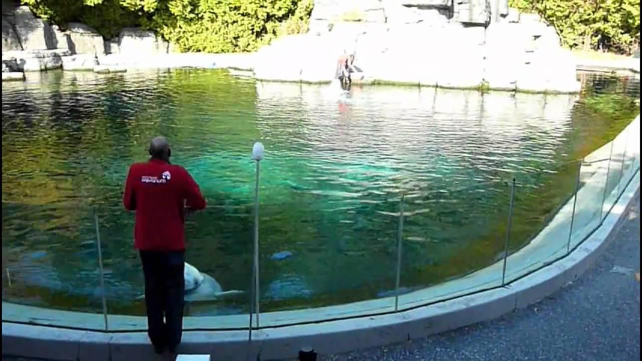 Beluga Whale Show at the Vancouver Aquarium - YouTube