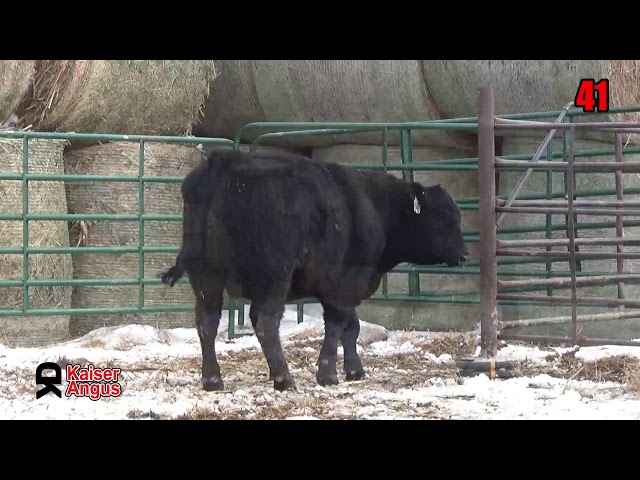 Kaiser Angus Ranch Lot 41