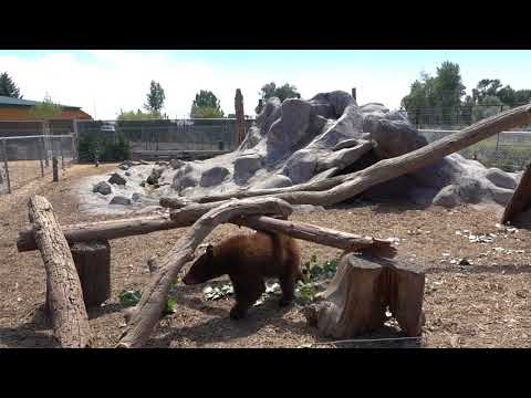 Feeding the Bears at the Yellowstone Bear World