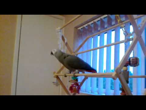 Gizmo The African Grey Parrot – Singing Rhianna What's My Name?