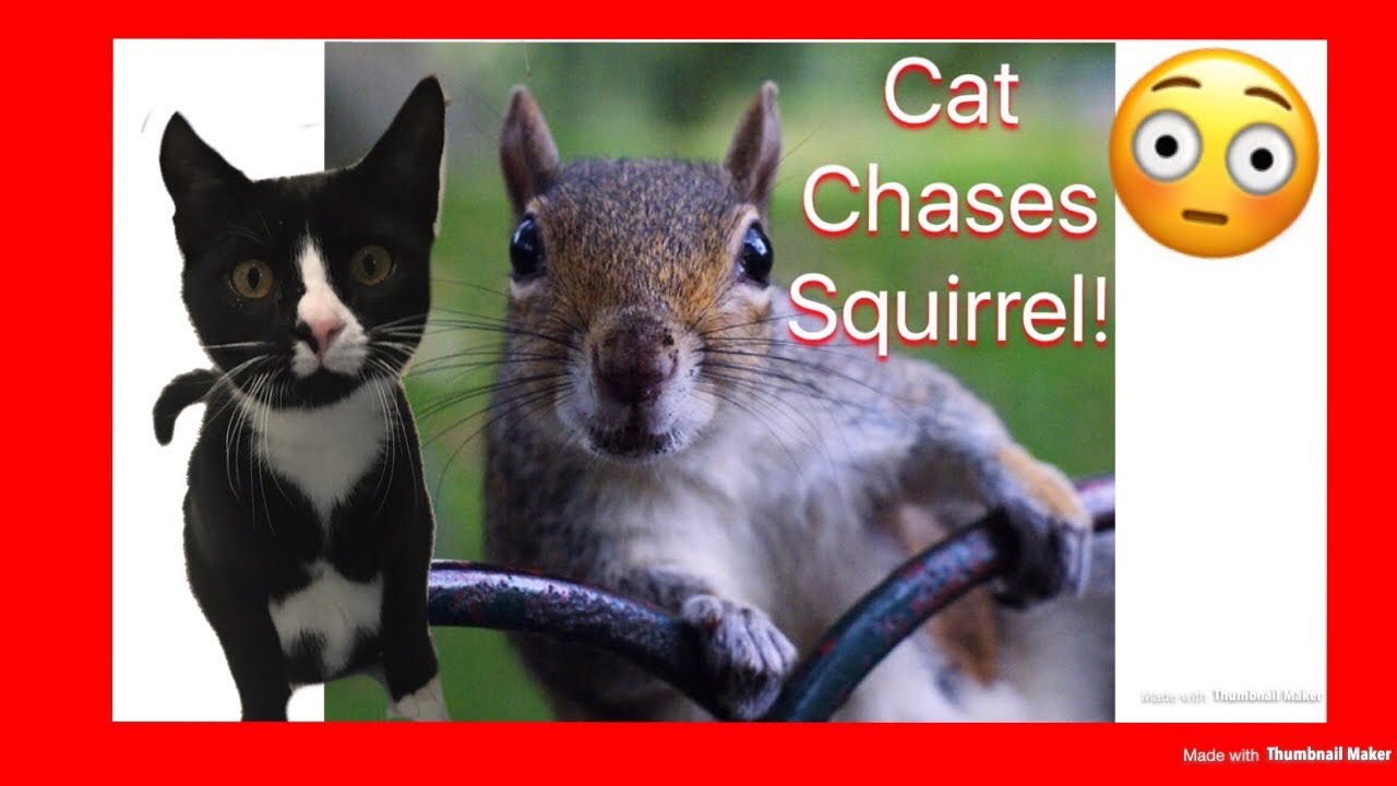 CAT CHASING a SQUIRREL | Cat Teased By Squirrel | Squirrel ...