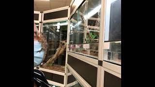 Anolis porcus - Faux-caméléon de Cuba vidéo